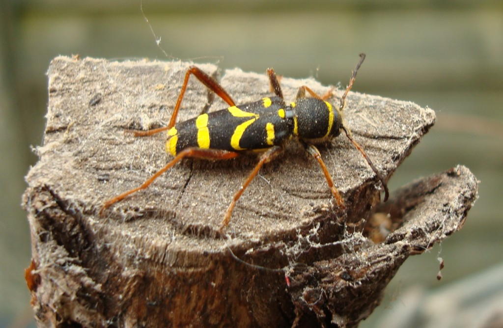 A wasp beetle - recently emerged from a stick in a bucket. Now outdoors