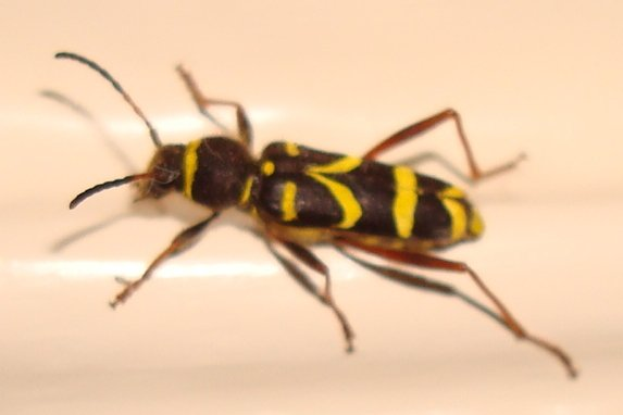 Is this a Wasp beetle – Clytus Arietis?